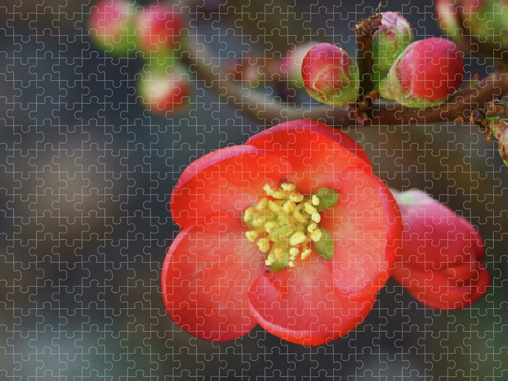 Bud Puzzle featuring the photograph Red Flowering Quince by Picture By La-ong