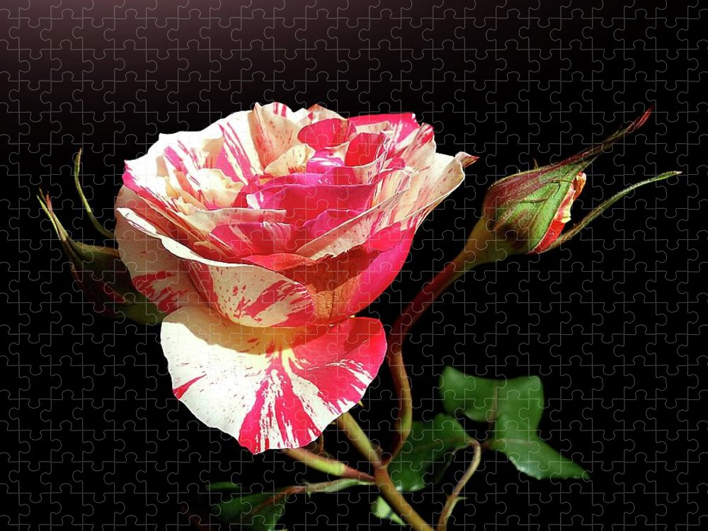 Bud Puzzle featuring the photograph Rose With Two Buds by Gitpix