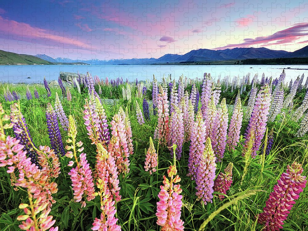 Tranquility Puzzle featuring the photograph Russel Lupines At Lake Tekapo by Atomiczen