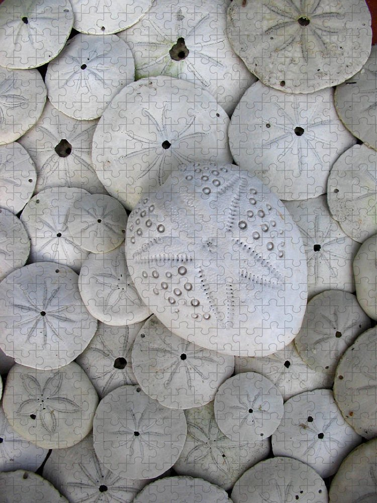 Animal Shell Puzzle featuring the photograph Sand Dollars by Brenda Foran