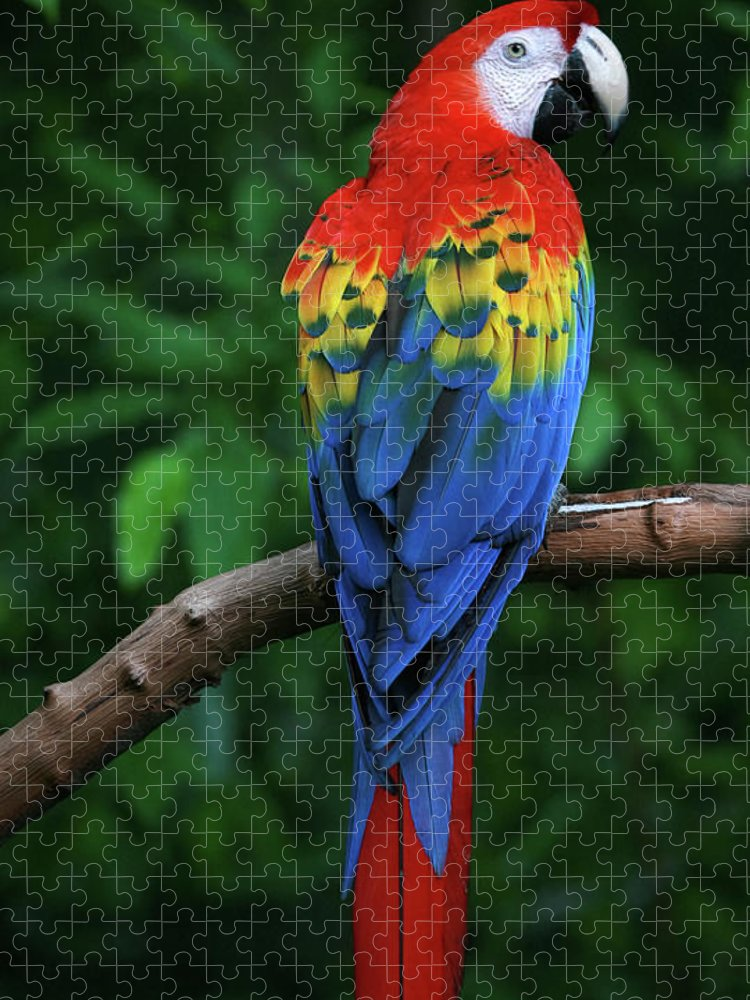 Tropical Rainforest Puzzle featuring the photograph Scarlet Macaw by Thepalmer