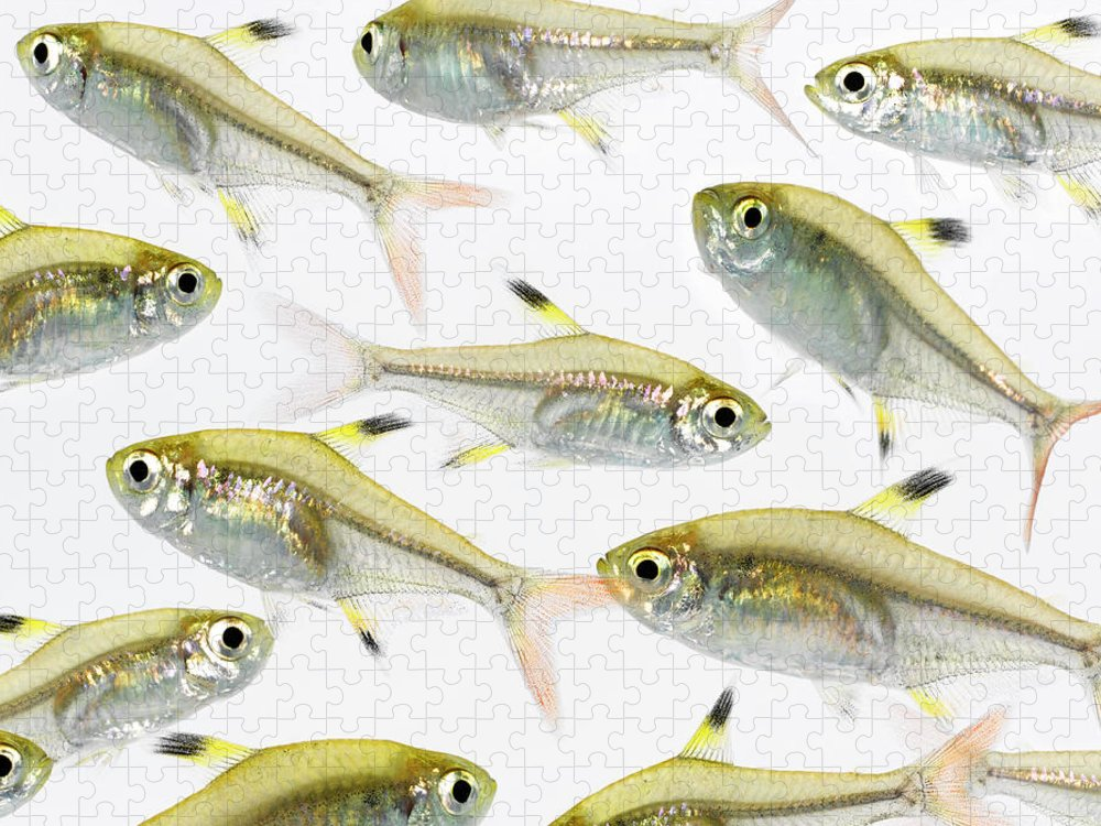 White Background Puzzle featuring the photograph School Of X-ray Tetra Fish Pristella by Don Farrall