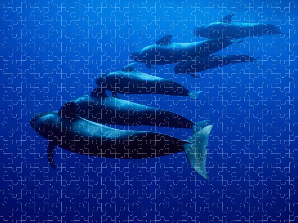 Underwater Puzzle featuring the photograph Short-finned Pilot Whales, Globicephala by Gerard Soury