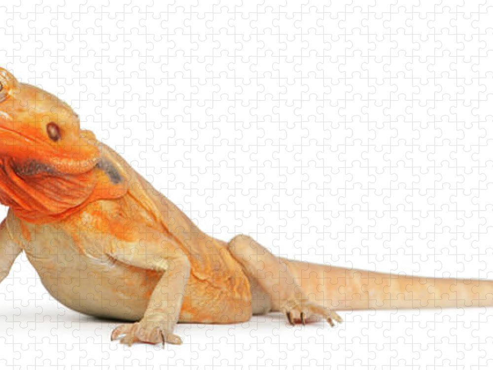 Belgium Puzzle featuring the photograph Silkbacks Scaleless Bearded Dragon by Life On White