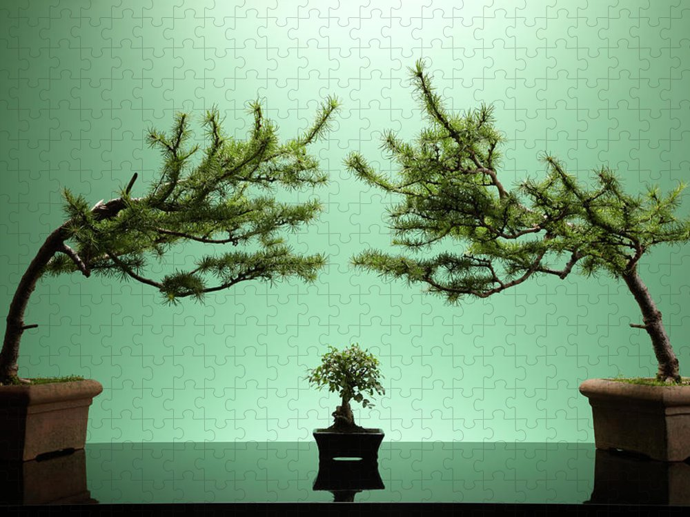 Environmental Conservation Puzzle featuring the photograph Small Bonsai Tree Between Two Large by Richard Drury