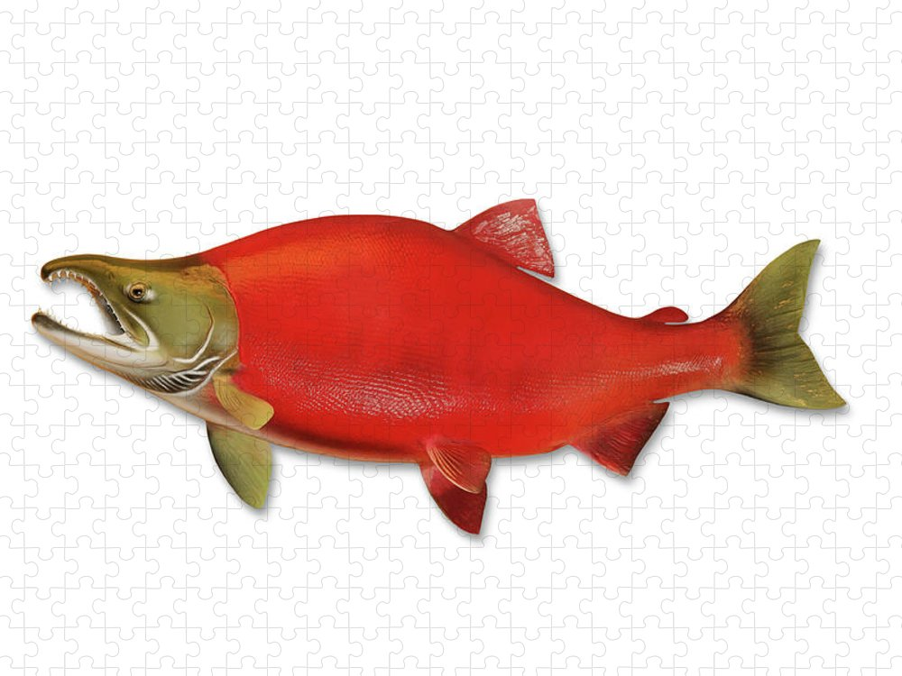 Orange Color Puzzle featuring the photograph Sockeye Salmon With Clipping Path by Georgepeters
