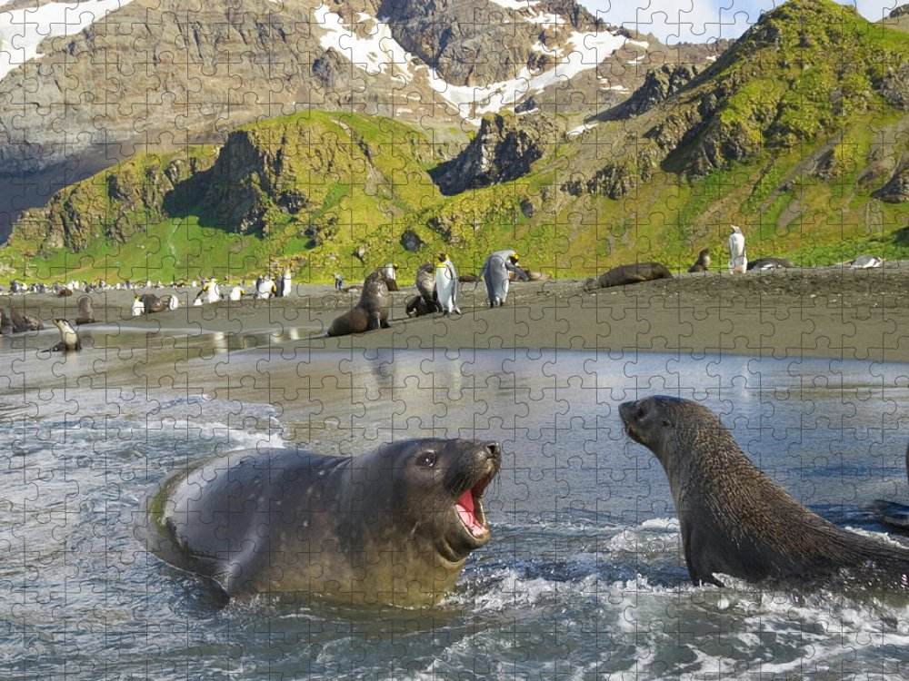 South Georgia Island Puzzle featuring the photograph Southern Elephant Seal Pup Barking At by Eastcott Momatiuk