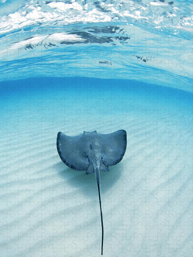 Underwater Puzzle featuring the photograph Southern Sting Ray At Stingray City by Justin Lewis