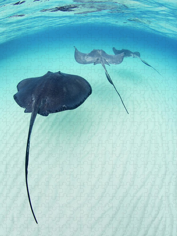 Underwater Puzzle featuring the photograph Southern Stingray Cayman Isalnds by Justin Lewis