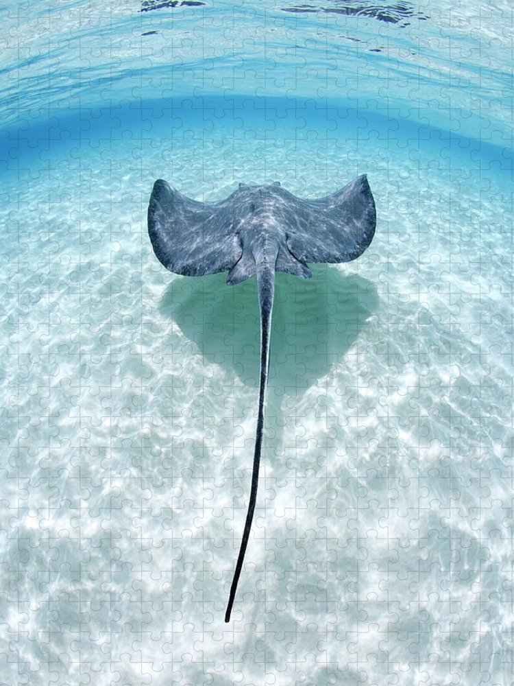 Underwater Puzzle featuring the photograph Southern Stingray Cayman Islands by Justin Lewis