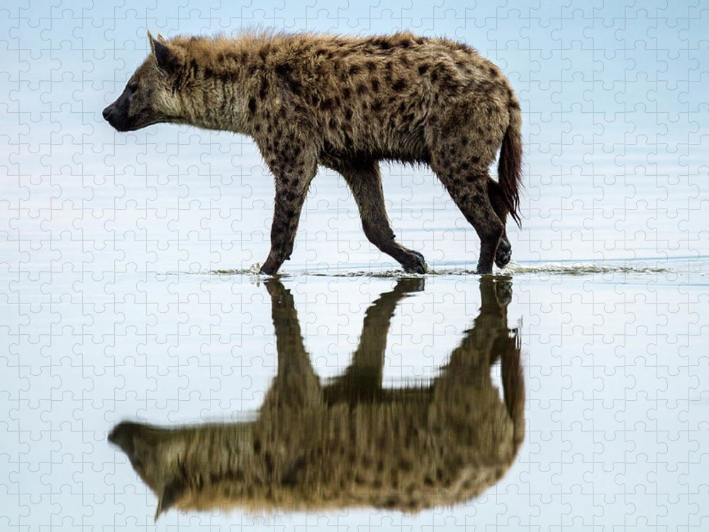 Kenya Puzzle featuring the photograph Spotted Hyena Looking For Weak Flamingos by Manoj Shah