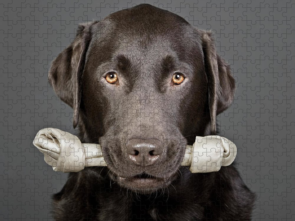 One Animal Puzzle featuring the photograph Studio Portrait Of Chocolate Labrador by Justin Paget