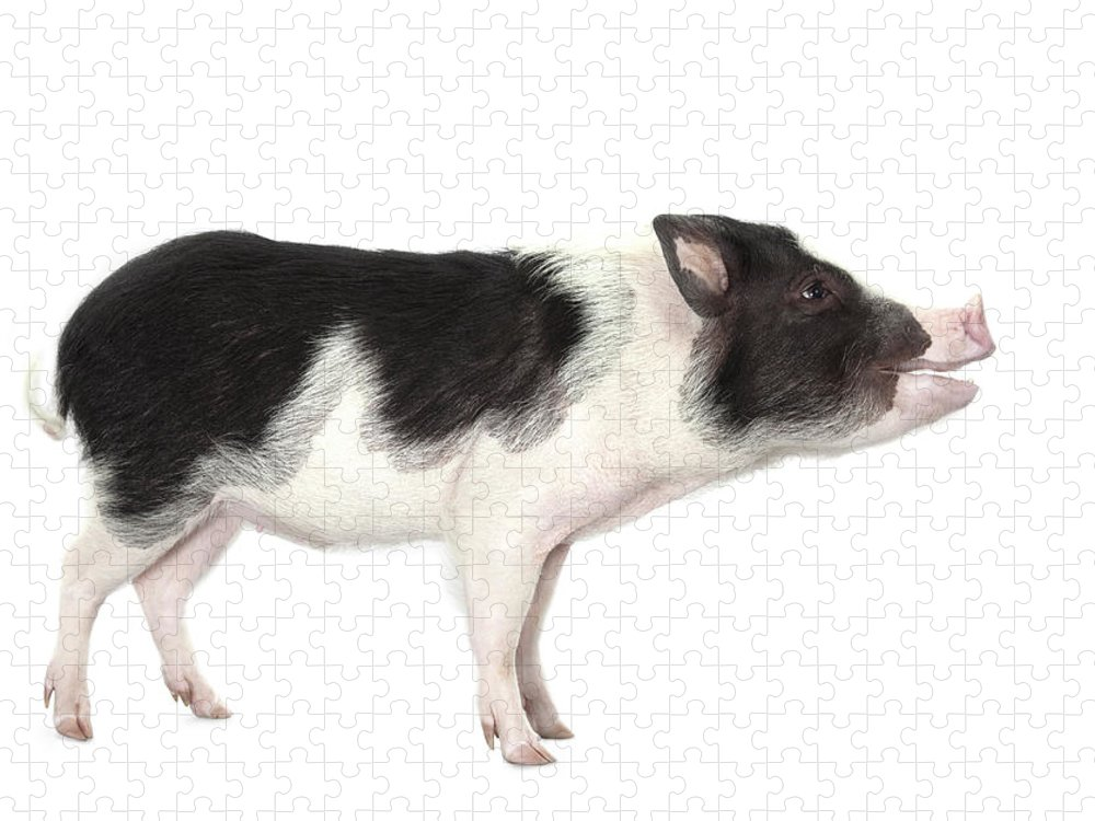 Pig Puzzle featuring the photograph Studio Shot Of A Pig, Profile, Smiling by Michael Duva