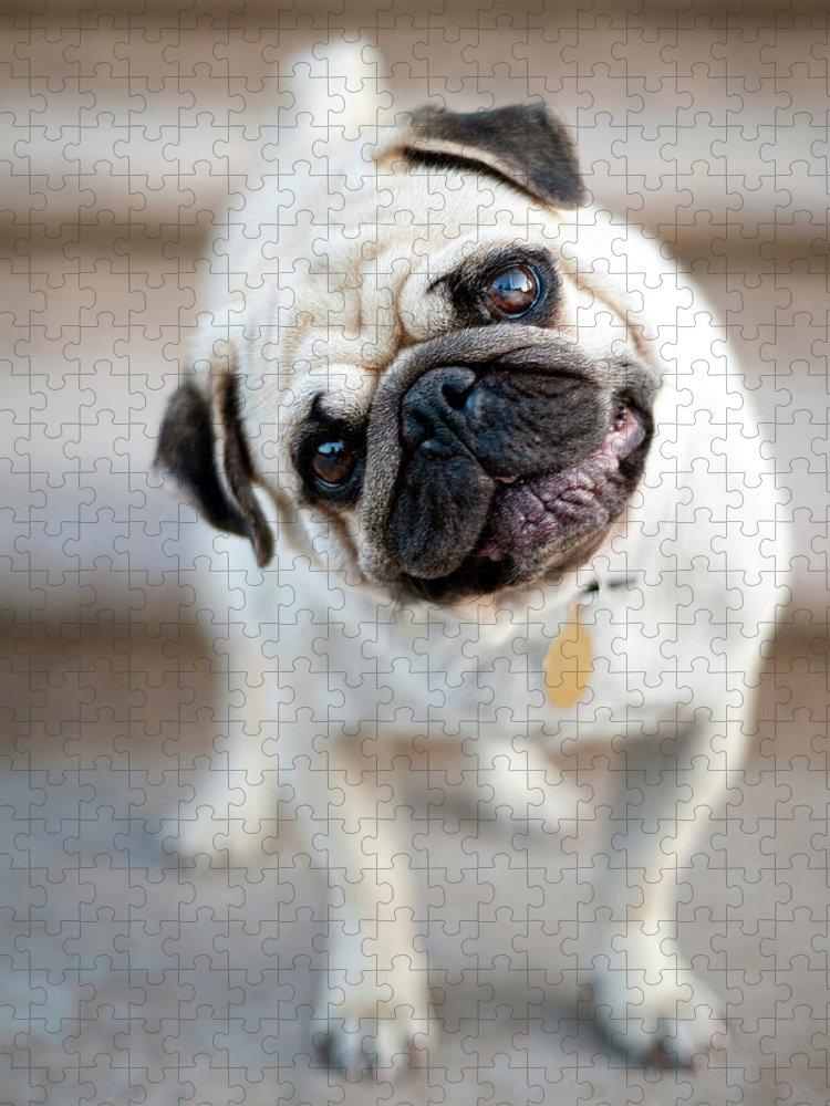 Pets Puzzle featuring the photograph Tan & Black Pug Dog Tilting Head by Alex Sotelo