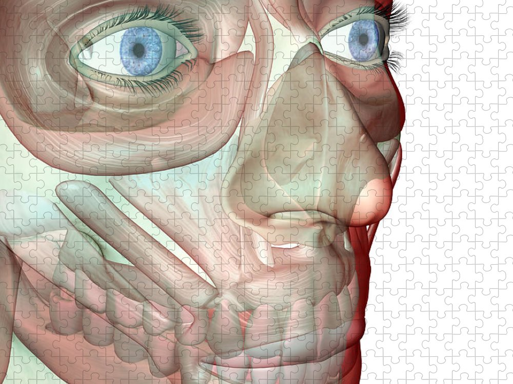 White Background Puzzle featuring the digital art The Musculoskeleton Of The Face by Medicalrf.com