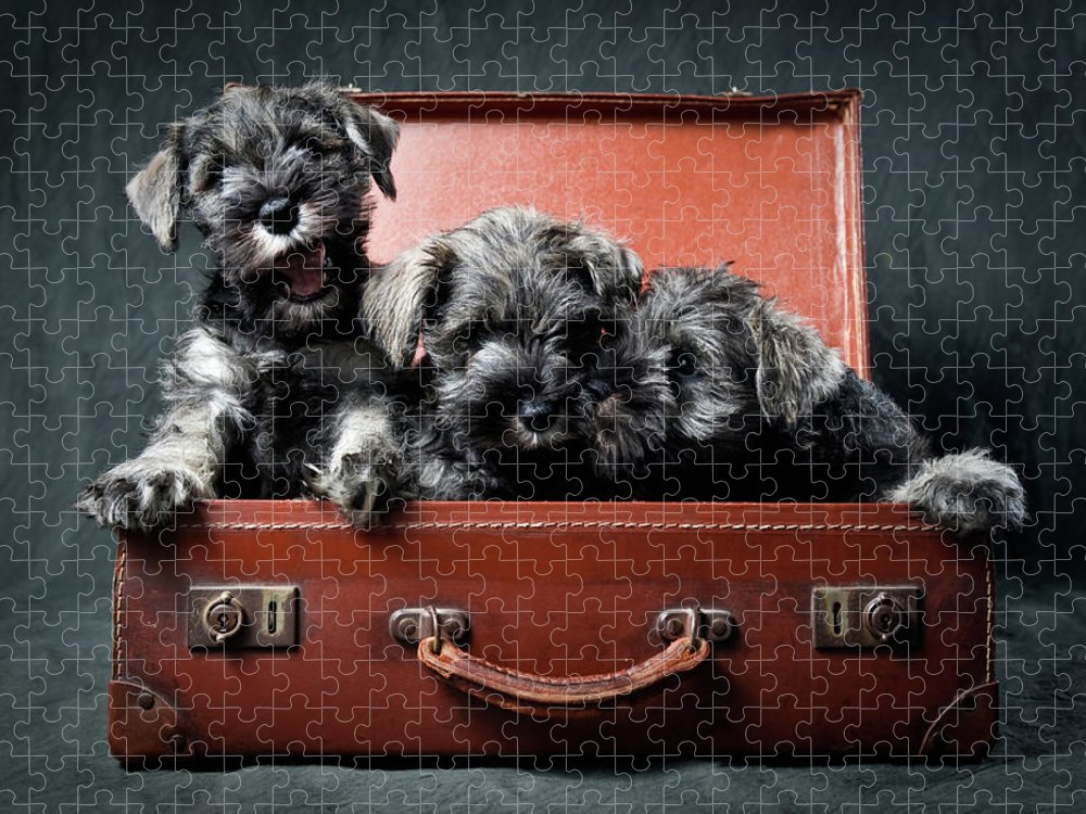 Pets Puzzle featuring the photograph Three Miniature Schnauzer Puppies In by Steve Collins / Momofoto