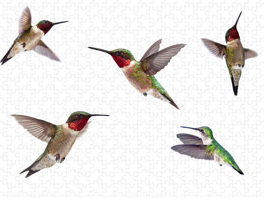 White Background Puzzle featuring the photograph Three Ruby Throated Hummingbirds by Cglade