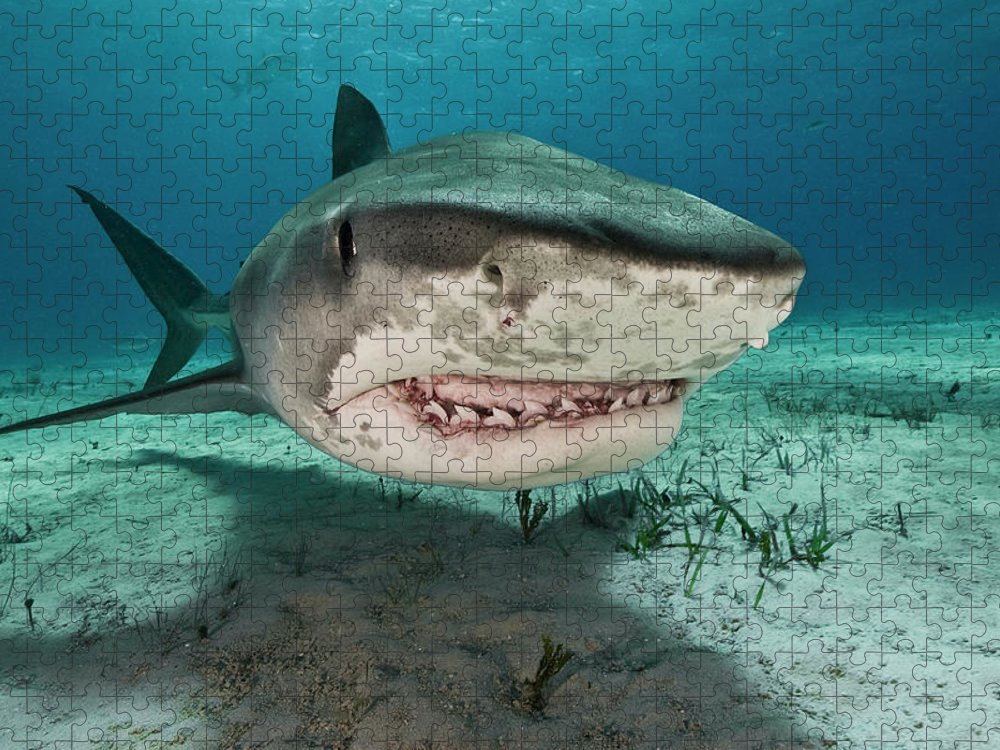 Underwater Puzzle featuring the photograph Tiger Sharks Galeocerdo Cuvier Are by Rodrigo Friscione