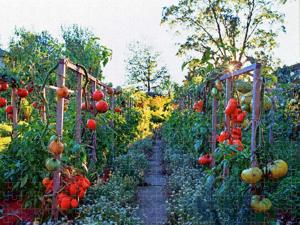 Community Garden Puzzle featuring the photograph Tomatoes On Frames by Richard Felber