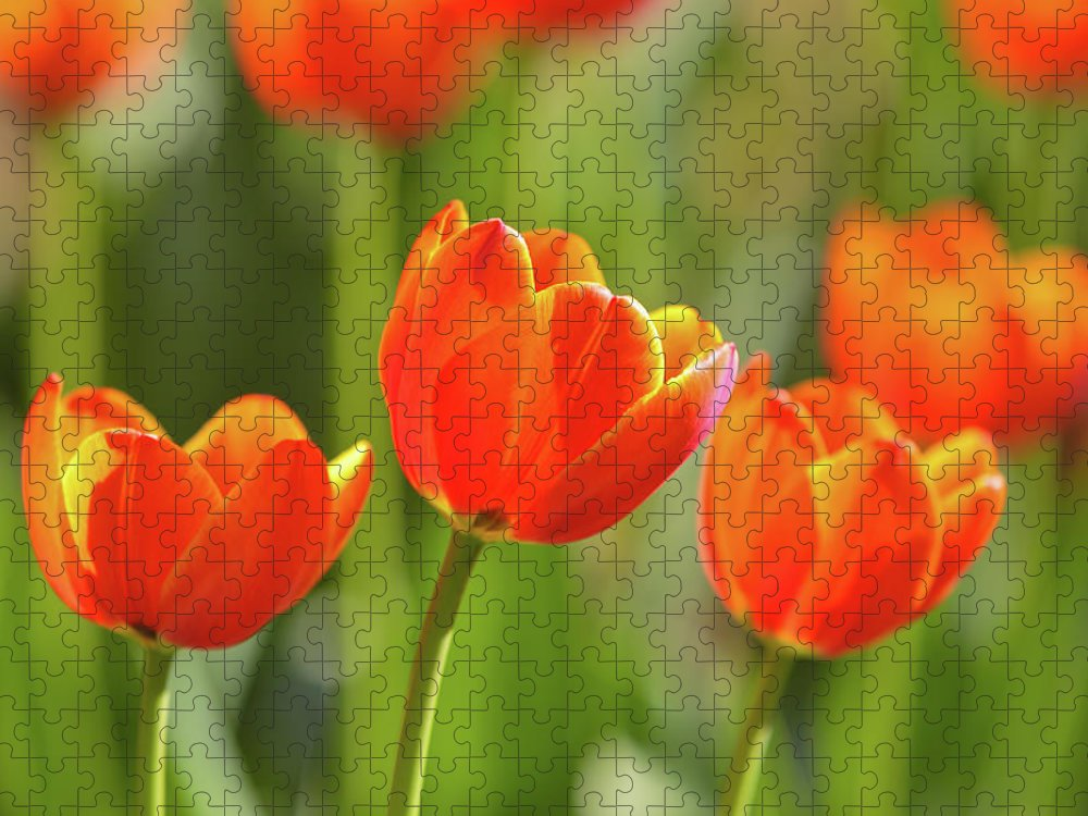 Flowerbed Puzzle featuring the photograph Tulip by Ithinksky
