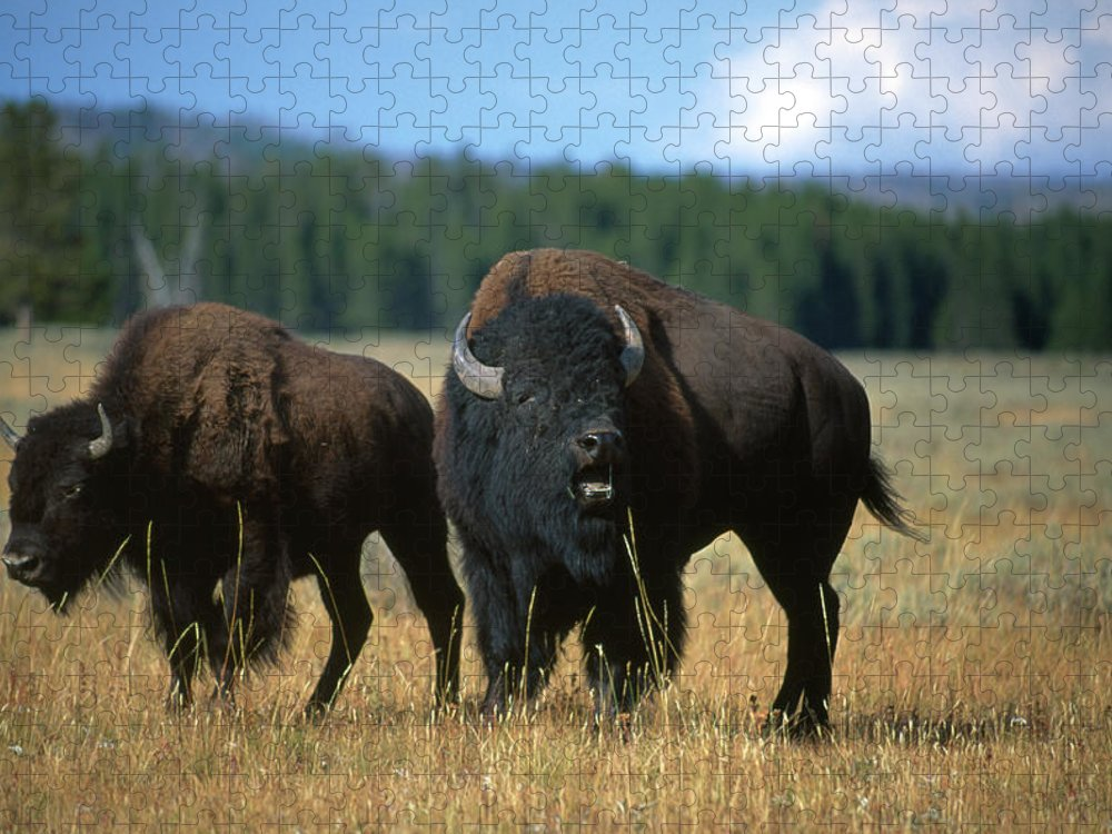 Male Animal Puzzle featuring the photograph Two American Bison On The Grassy Plains by Gomezdavid