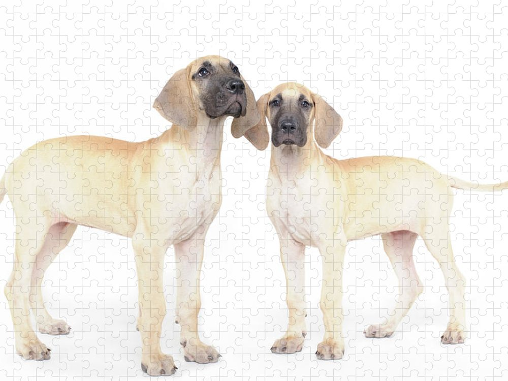 Pets Puzzle featuring the photograph Two Great Danes by Studio 504