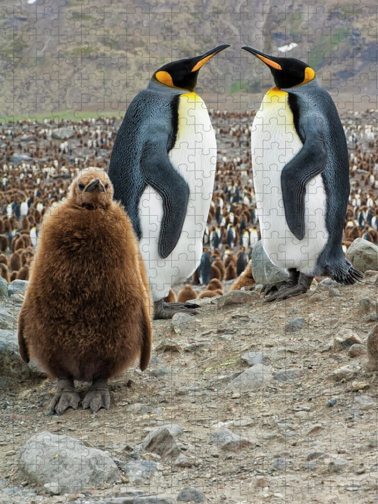 Animals In The Wild Puzzle featuring the photograph Two King Penguins And A Chick by Gabrielle Therin-weise