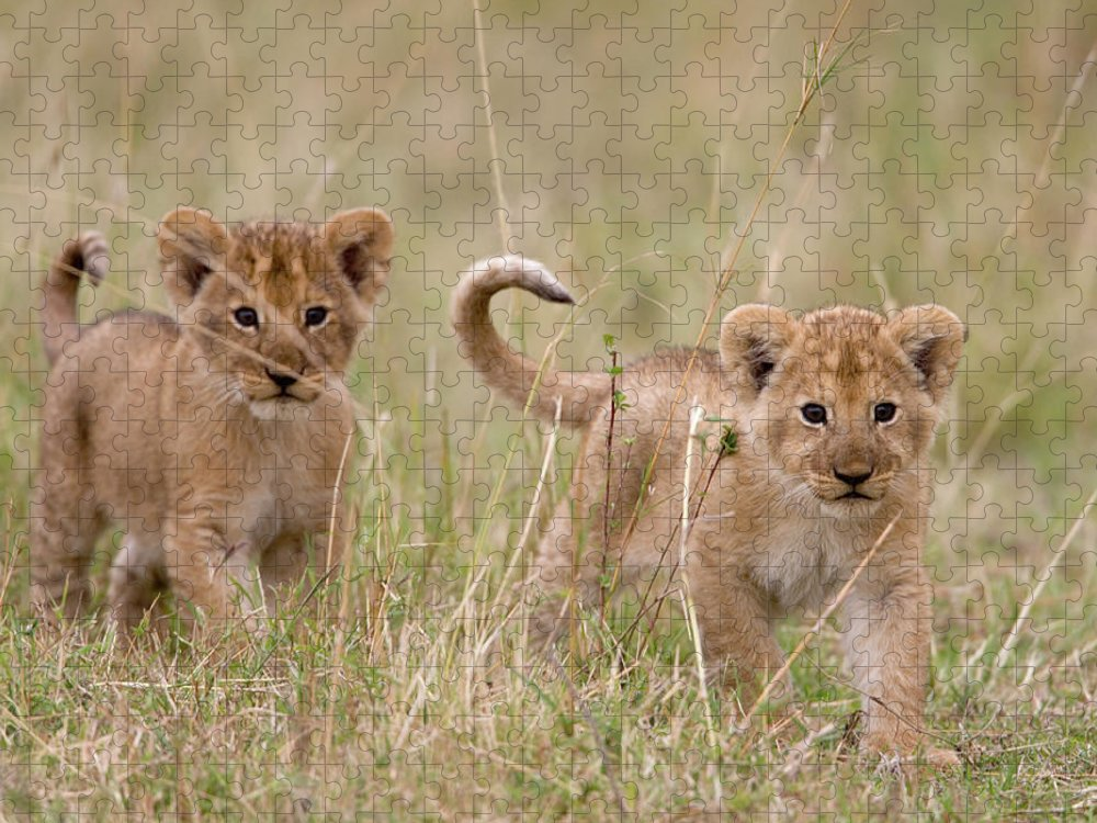 Kenya Puzzle featuring the photograph Two Lion Panthera Leo Cubs Walking by Paul Souders