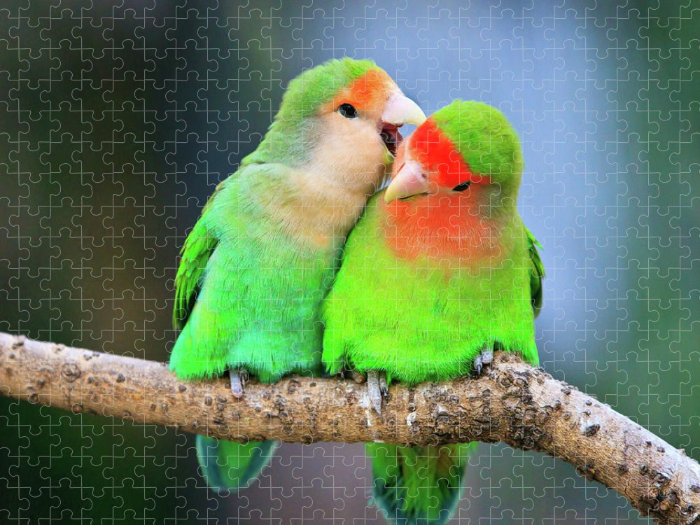 Togetherness Puzzle featuring the photograph Two Peace-faced Lovebird by Feng Wei Photography