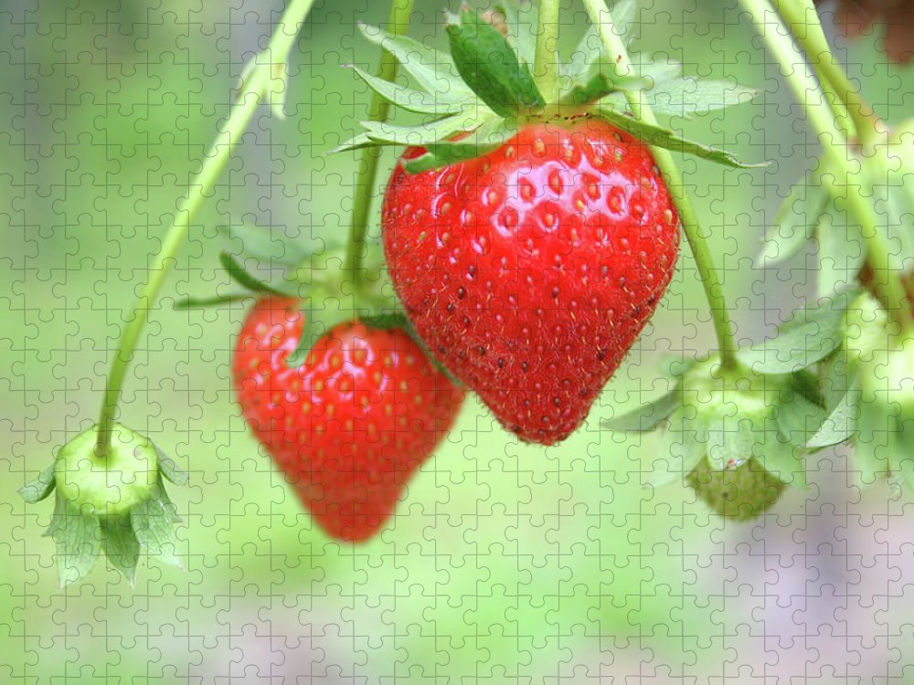 Juicy Puzzle featuring the photograph Two Ripe Red Strawberries On The Vine by Hohenhaus