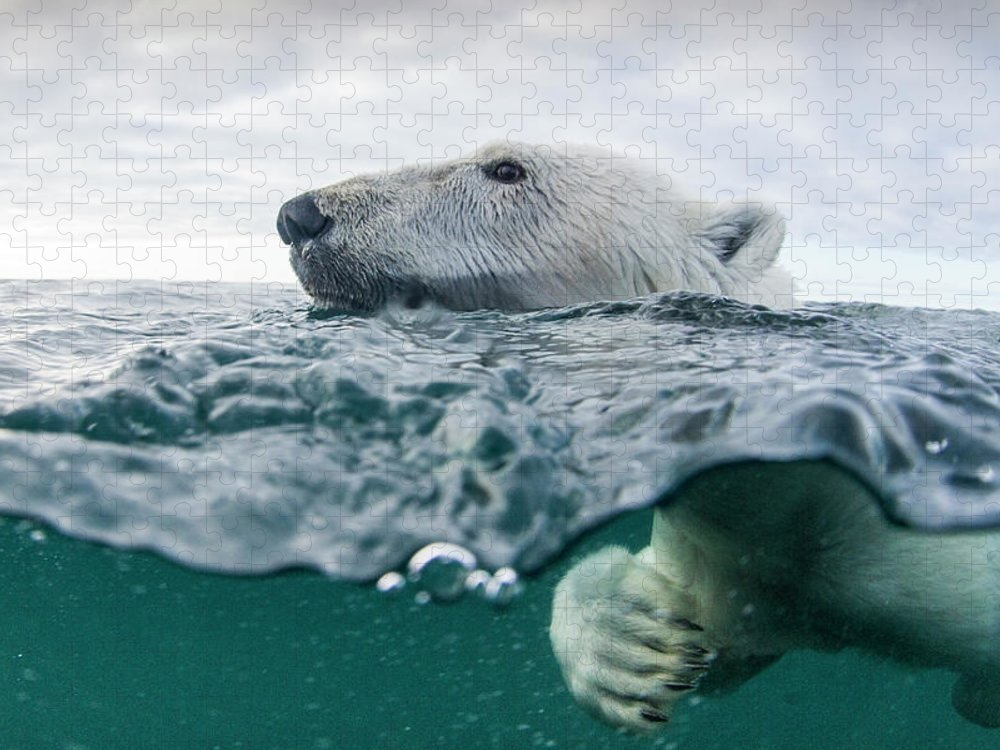Paw Puzzle featuring the photograph Underwater Polar Bear In Hudson Bay by Paul Souders