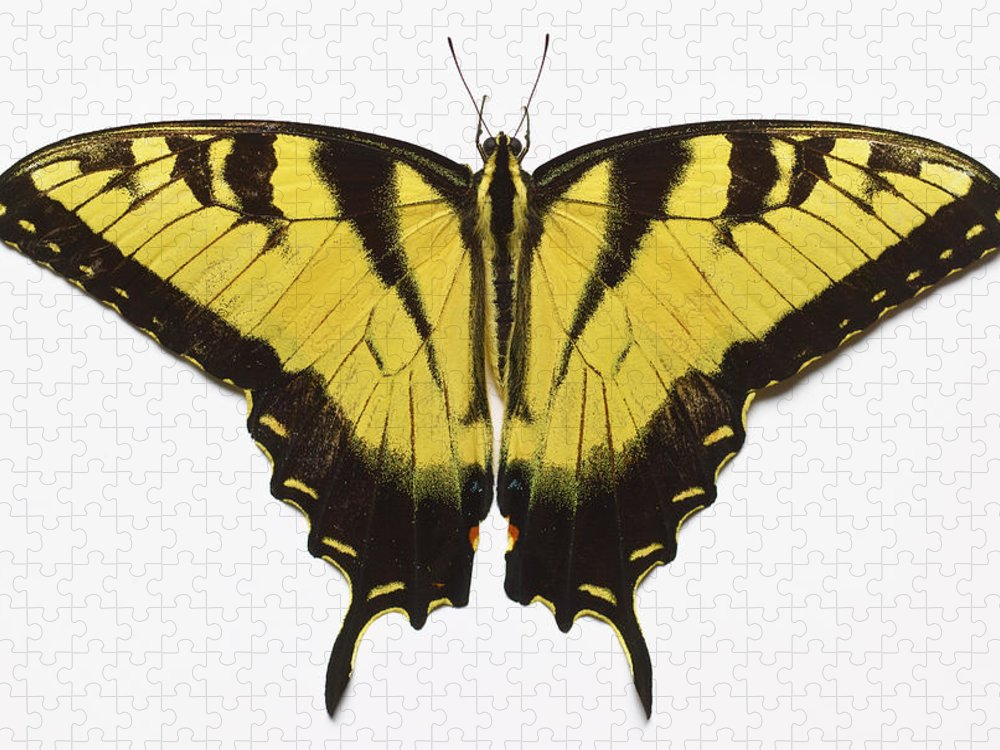 White Background Puzzle featuring the photograph Western Tiger Swallowtail Butterfly by Don Farrall