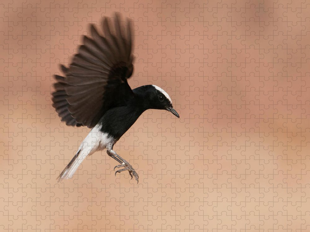 Eilat Puzzle featuring the photograph White Crowned Wheatear by Dorit Bar-zakay