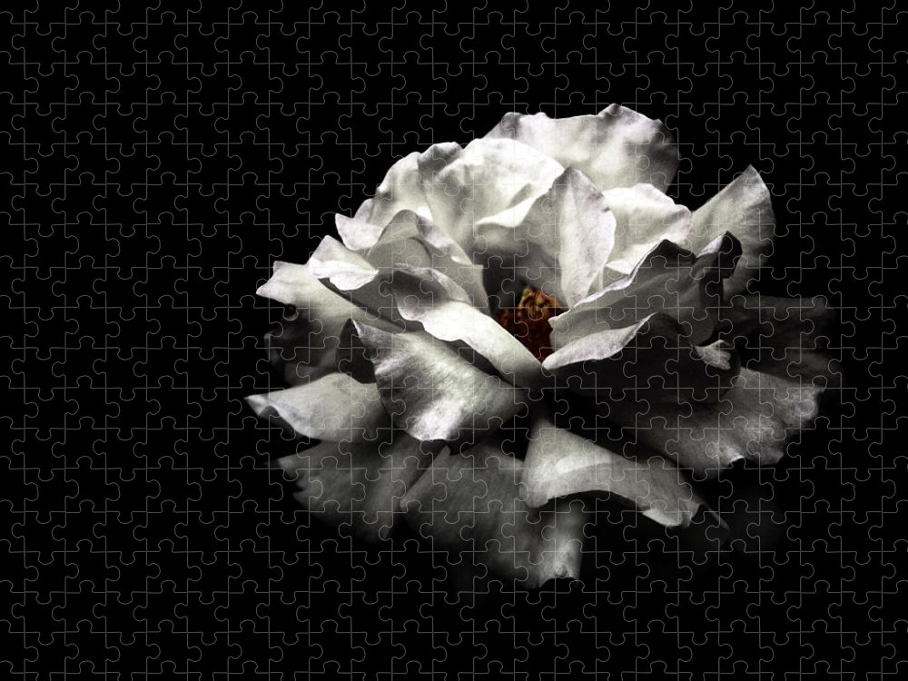 Black Background Puzzle featuring the photograph White Rose by Lola L. Falantes