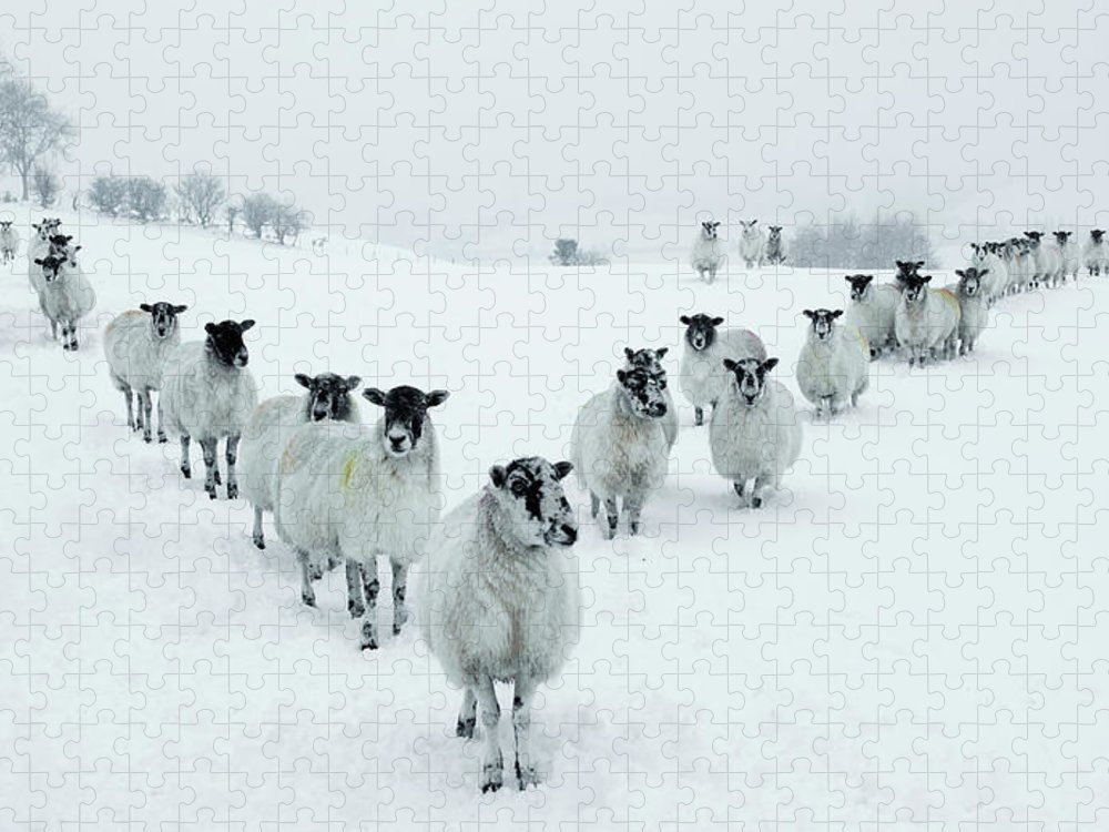 Cool Attitude Puzzle featuring the photograph Winter Sheep V Formation by Motorider