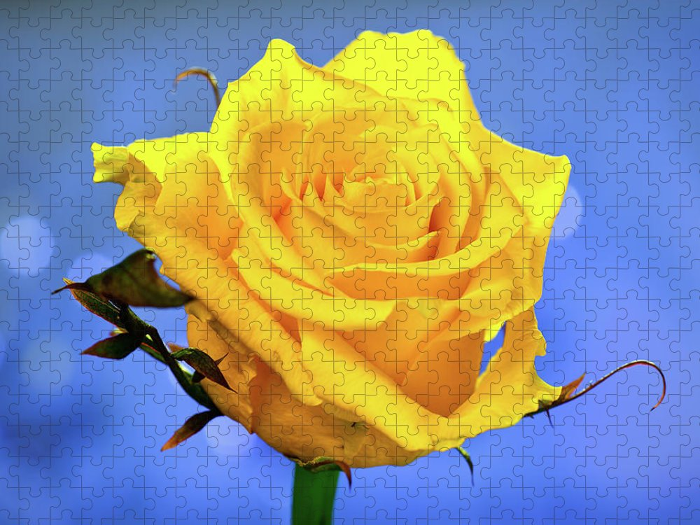 Slovenia Puzzle featuring the photograph Yellow Rose by © Karmen Smolnikar