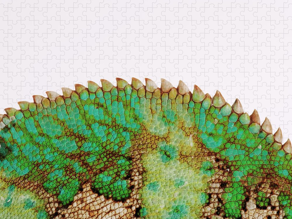 White Background Puzzle featuring the photograph Yemen Chameleon, Close-up Of Skin by Martin Harvey