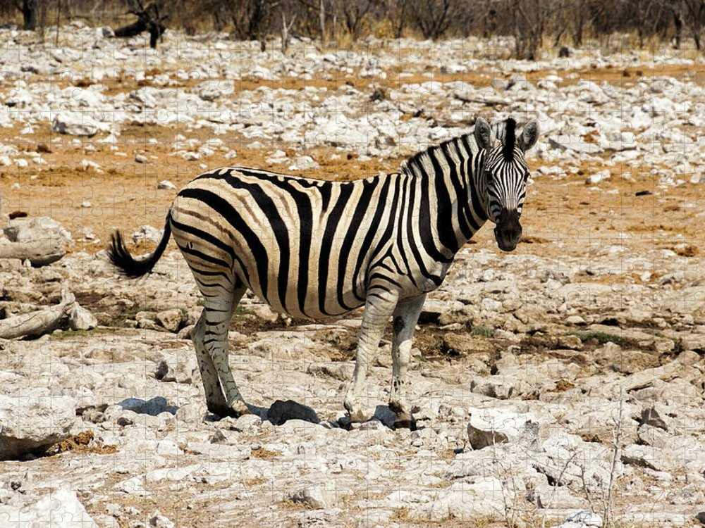 Animal Themes Puzzle featuring the photograph Zebra And White Rocks by Taken By Chrbhm