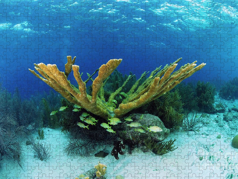 70007084 Puzzle featuring the photograph Elkhorn Coral by Hans Leijnse
