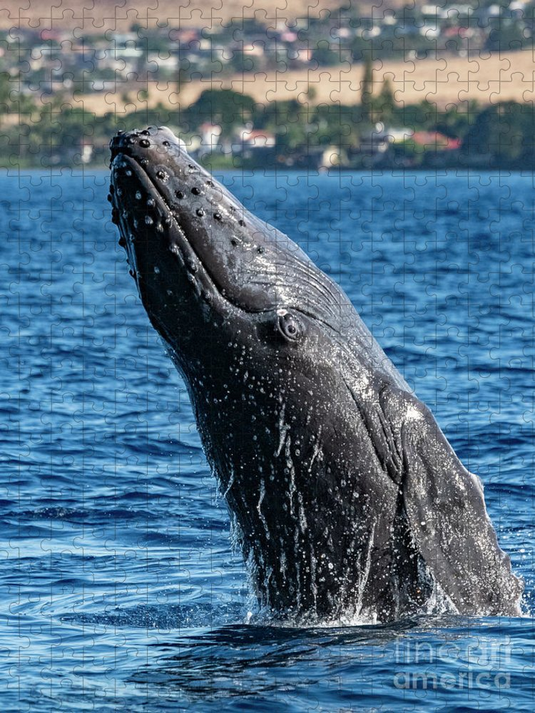 00595515 Puzzle featuring the photograph Juvenlie Humpback Breaching by Flip Nicklin