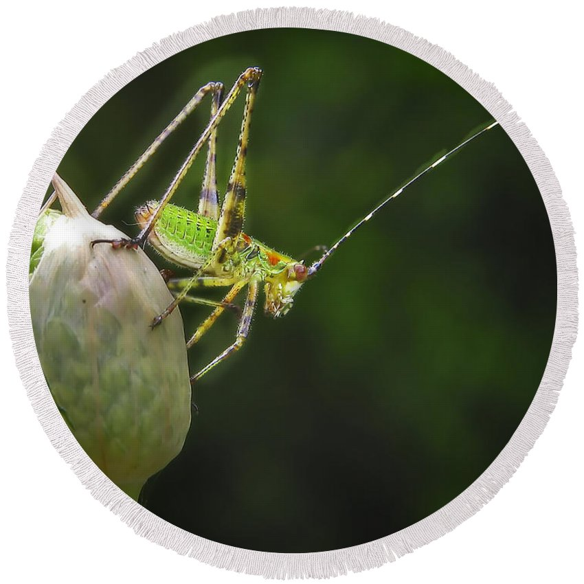 Close Up Round Beach Towel featuring the photograph Katydid by David and Carol Kelly