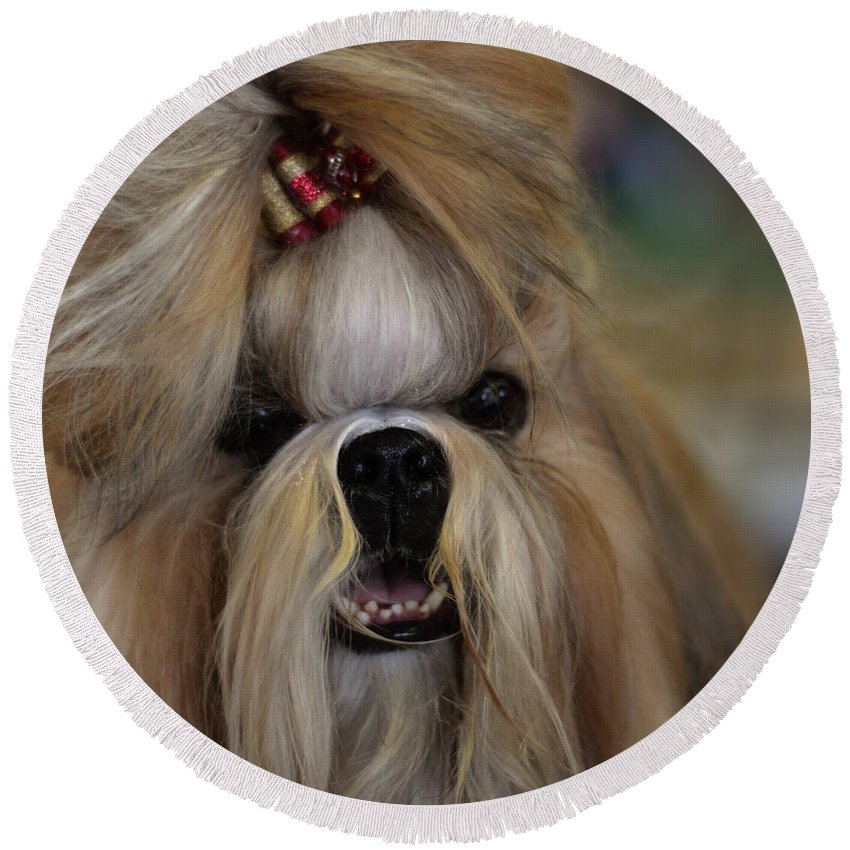 Adorable Round Beach Towel featuring the photograph Lhasa Apso by TouTouke A Y