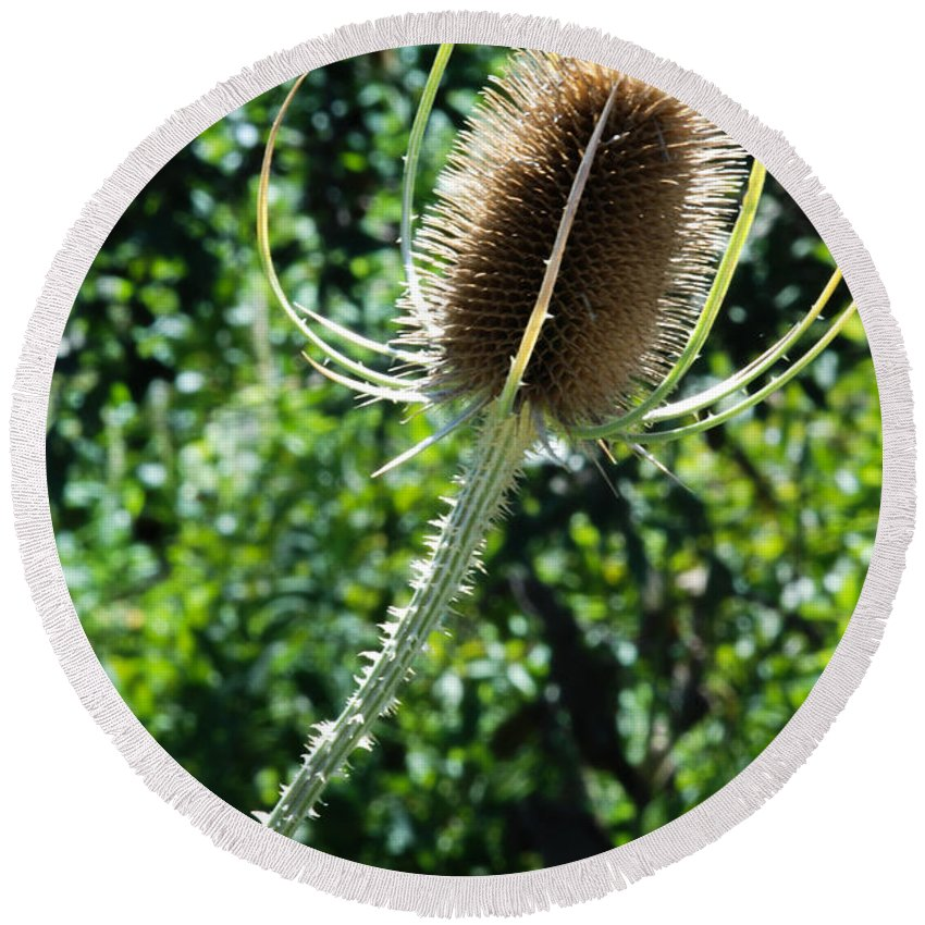 Spiky Plant Round Beach Towel featuring the photograph Thistle Plant by Optical Playground By MP Ray