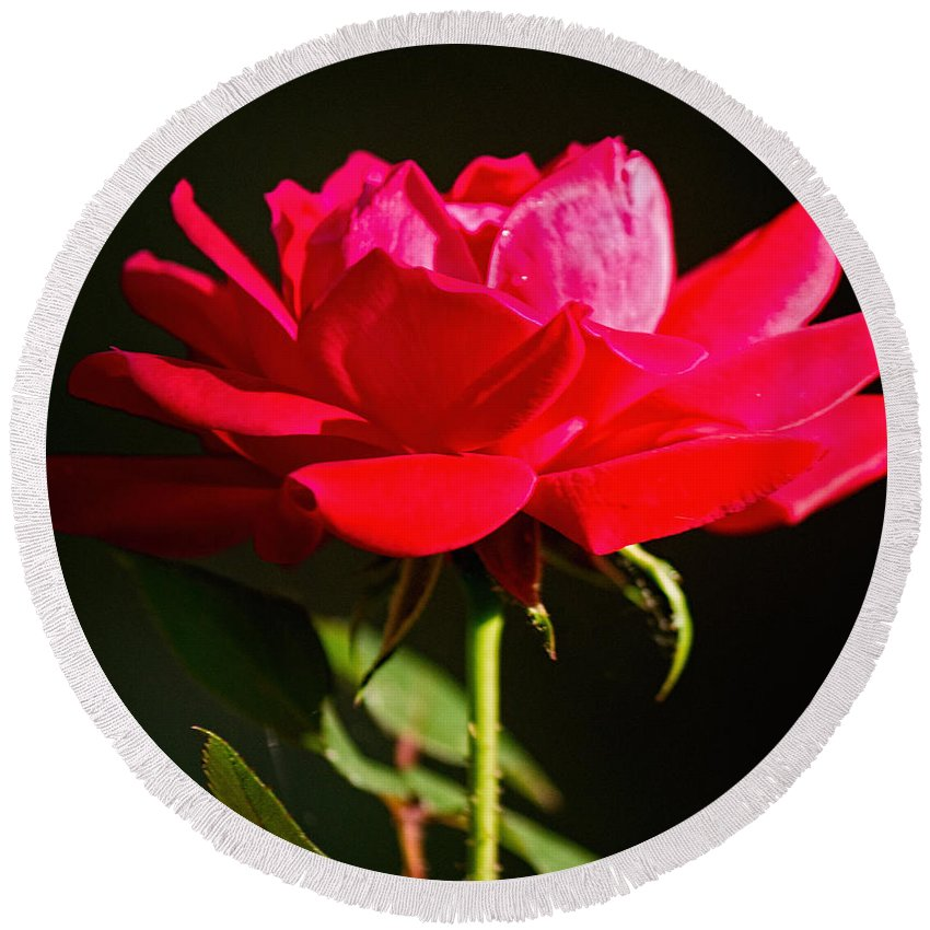 Sandra Clark Round Beach Towel featuring the photograph A Red Rose by Sandra Clark
