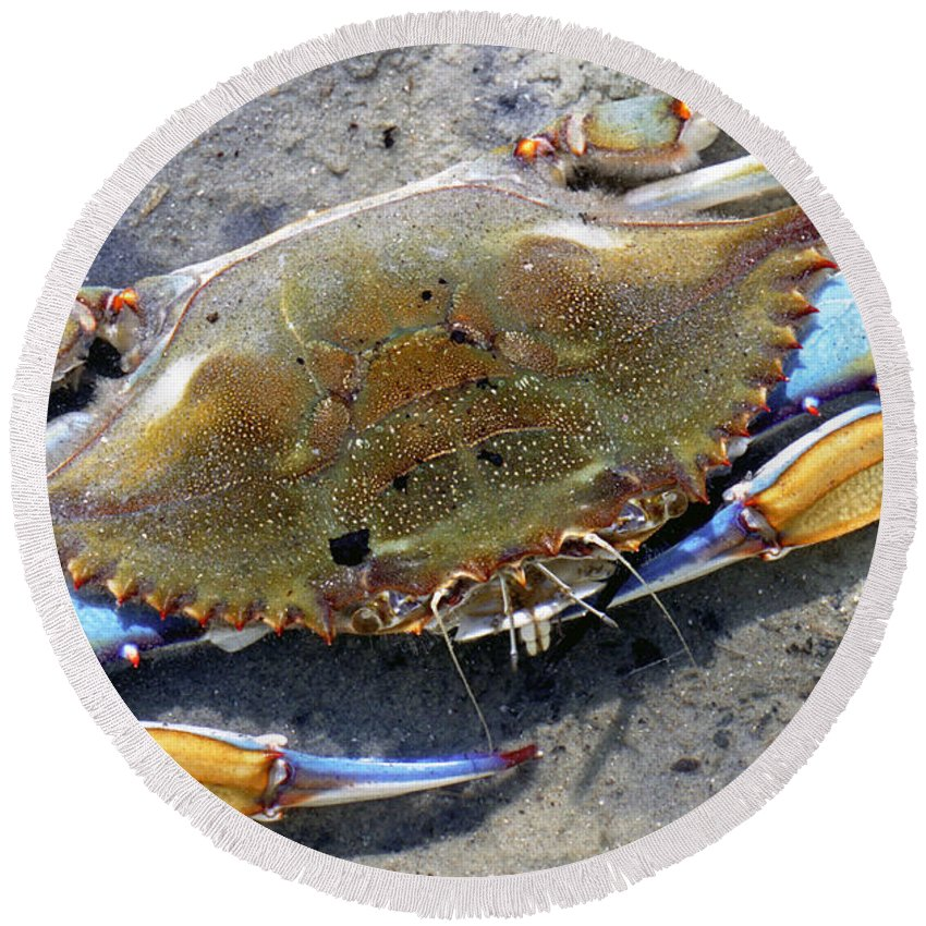 Nature Round Beach Towel featuring the photograph Adult Male Blue Crab by Millard H. Sharp