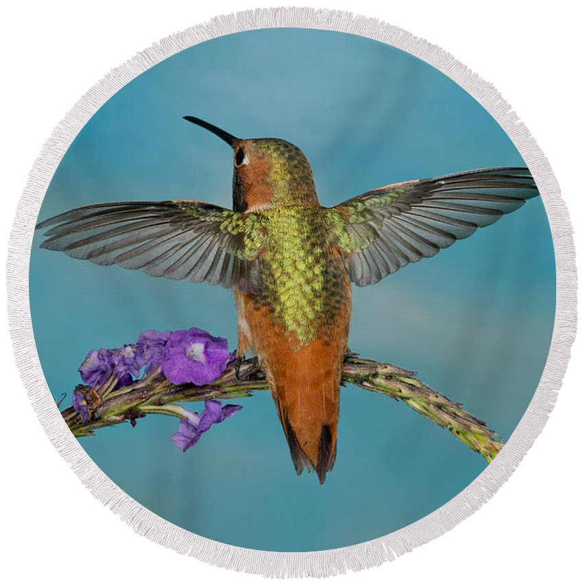 Selasphorus Sasin Round Beach Towel featuring the photograph Allens Hummingbird Male by Anthony Mercieca