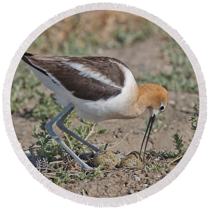 American Avocet Round Beach Towel featuring the photograph American Avocet And Eggs by Anthony Mercieca
