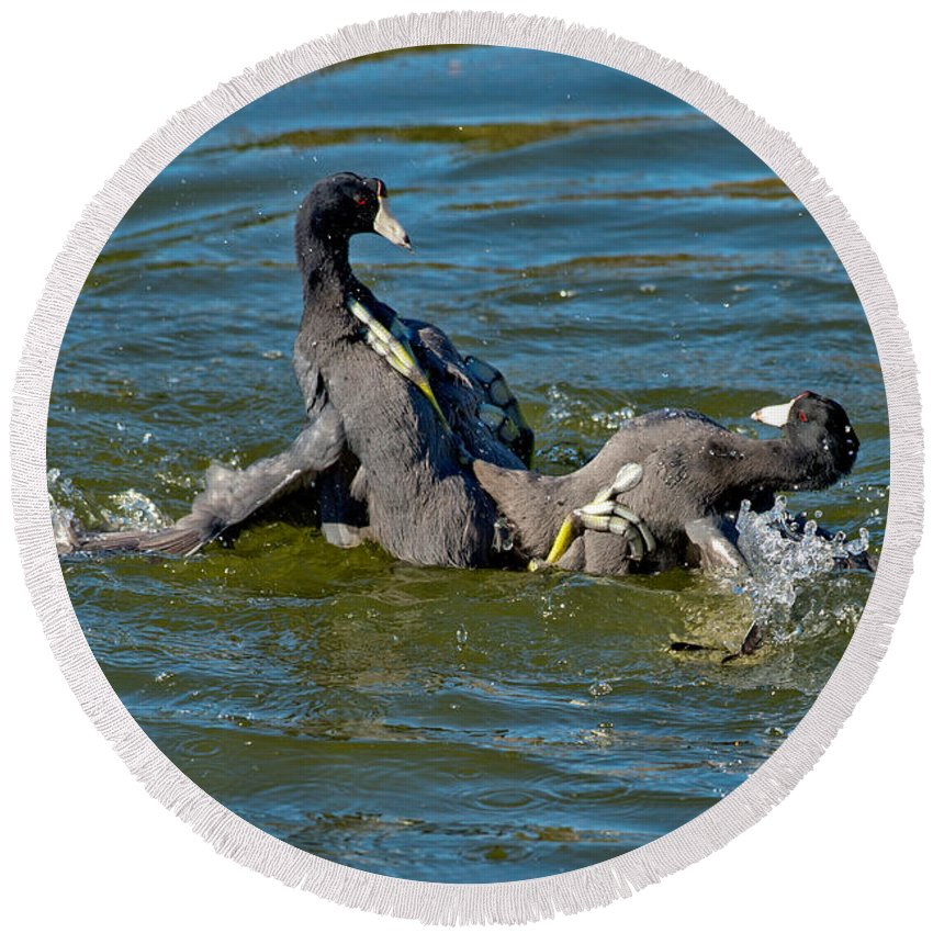 Nature Round Beach Towel featuring the photograph American Coots Fighting by Anthony Mercieca