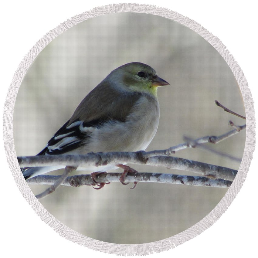 Bird Round Beach Towel featuring the photograph American Goldfinch 1 by Jamie Smith