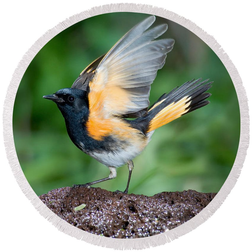 Animal Round Beach Towel featuring the photograph American Redstart by Anthony Mercieca